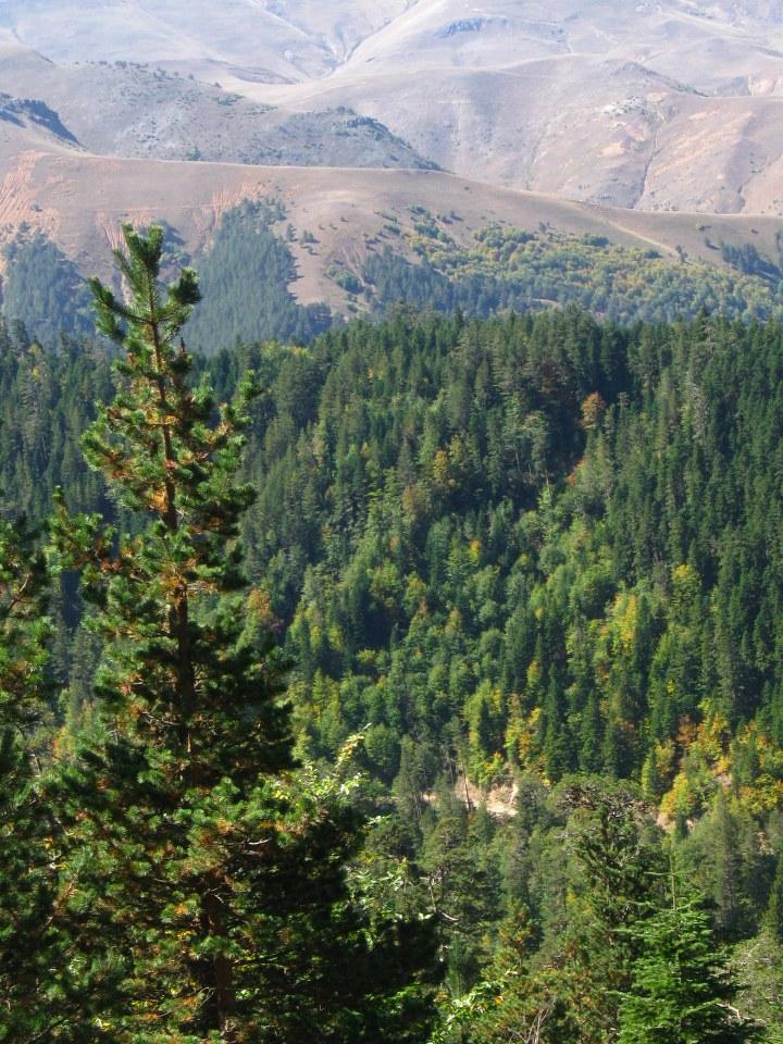 Sarıçam Ormanları (Giresun)